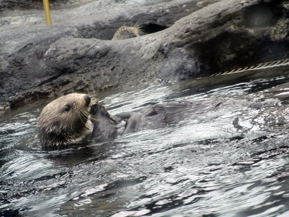 Sea otter at the Seattle Aquarium